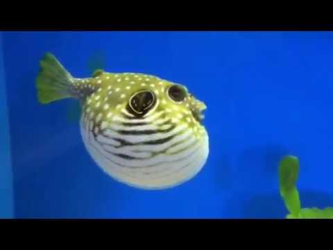 Puffer Fish Pop