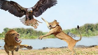Eagle vs Lion Real Fight | Eagle Attack Lions Mother Lion Save His Baby and Hunting Eagle To Revenge
