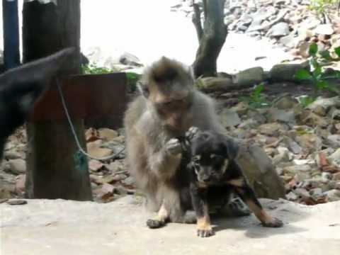 Monkey grooms puppy in Vietnam