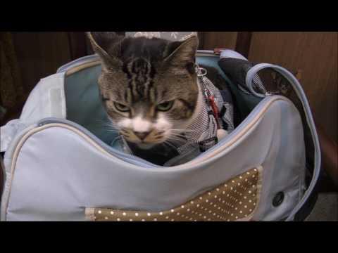 激おこ猫リキちゃんは猫パンチがキレッキレ☆動物病院へ通院するキジシロ猫・ゴジラ猫・ミニラ猫·怒る猫【リキちゃんねる 猫動画】Cat videos キジトラ猫との暮らし・angry cat