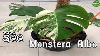รีวิว Monstera Albo มอนสเตอร่า อัลโบ้ ไม้ด่างมาแรง