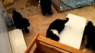 Mindenki-mindenkivel - EladÓ Tibeti Terrier Kiskutyák - Tibetan Terrier Puppies For Sale