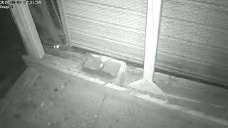 Raccoon in Chris's chicken coop  Part 2