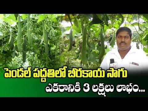 Natural Farming On Ridge Gourd Through Pendal System | Ridge Gourd Cultivation | SumanTV Rythu