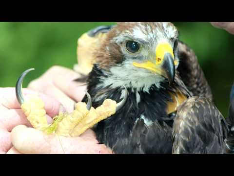 Fred The Golden Eagle - The Story Continues