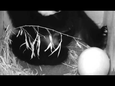 Giant Panda Mei Xiang Gives Birth at Smithsonian's National Zoo HD