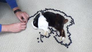 Waking A Sleeping Rabbit By Surrounding Him With Blueberries