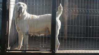 Собаки питомника сао Гарджи Хан, г. Омск .Гаплан Паша Жасмин Яра ( вывоз Ташкент)