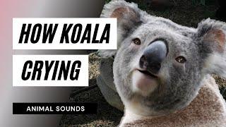 The animal sounds: koala crying - sound effect - animation