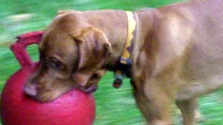 Hungarian Vizsla Archie At A & B Dogs Boarding & Training Kennels.