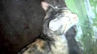 Трехцветная кошка ищет дом