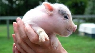 Ultimate Cute Micro Pig Compilation 2014 [NEW]