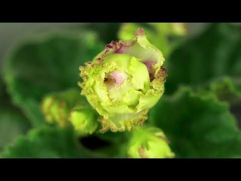 Вопрос: Как выглядит фиалка АВ – Желтая роза, фото и описание?