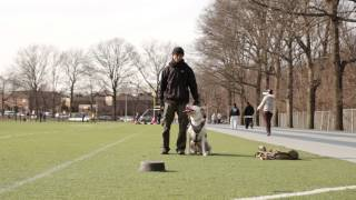 Practice Makes Perfect Dog Training Queens Ny - Cowboy The Pitbull - Unedited Session Canon T4i 40mm