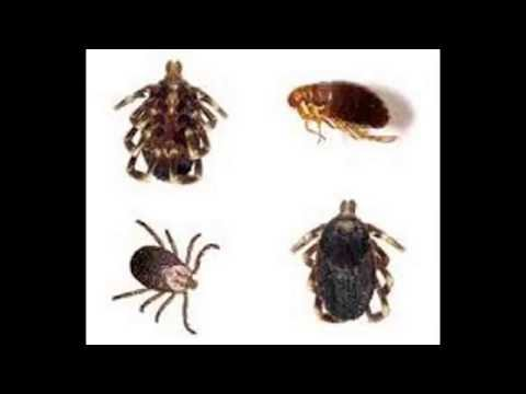 Home Remes To Get Rid Of Fleas In Human Hair