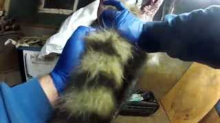How to strip out a Raccoons tail during the skinning process