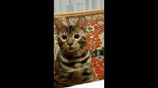 Забавный Бенгальский кот