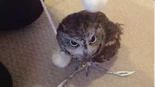 Kuu the Western Screech Owl Play in the Pon-Pon ニシアメリカオオコ...