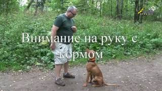 Дрессировка щенка, команда ко мне,упражнения на внимание и подзыв собаки