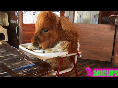 Cute Baby Miniature Horses ✯ Funny Animals Compilation