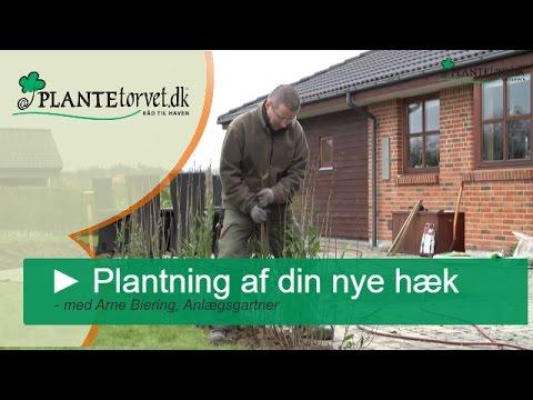 Plantning af hæk