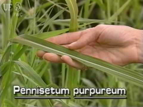 Elephant Grass Napier Grass Pennisetum Purpureum Youtube