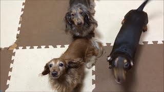 ミニチュアダックスフンドの犬の鳴き声です。 Miniature dachshund dog ...