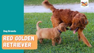 Red Golden Retriever: Your Guide To This Stunning Rare Dog!
