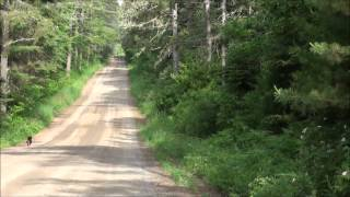 Snowshoe Hare Hunting With Beagles 6/21/15