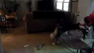 Superior Guardians Llc Dog Training- Home Alone Part 1