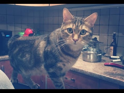 Manx. Cat manx peels the door in the house