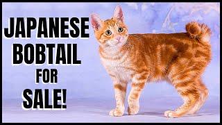 Japanese Bobtail for Sale!