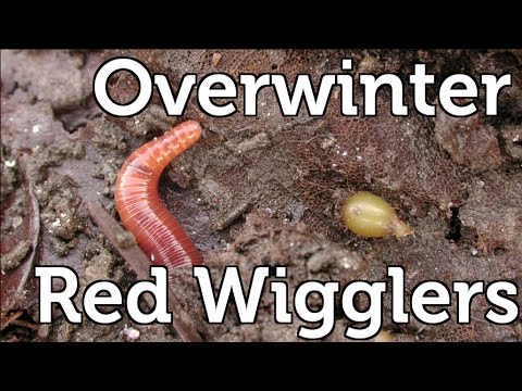 How To Overwinter Red Wiggler Composting Worms In Your Garden
