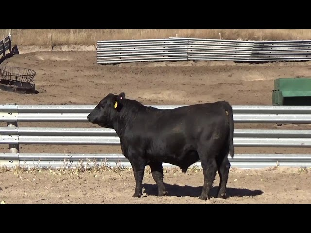 Connealy Angus Lot 142