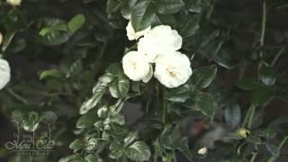 видео Роза Artemis