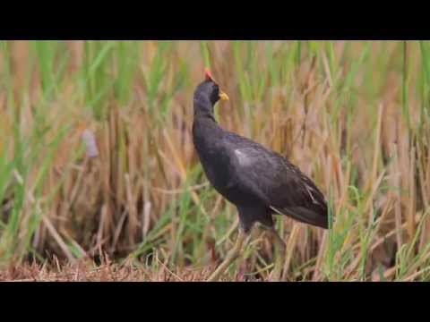 Watercock / Gallicrex cinerea / นกอีลุ้ม (male call)
