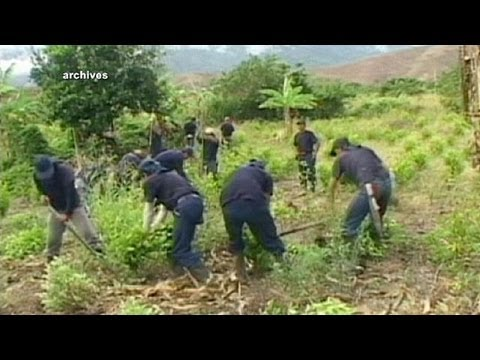 Coca crop falls in Columbia - one of the world's top cocaine producers