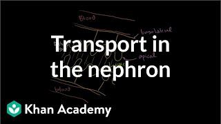 Secondary active transport in the nephron | Renal system physiology | NCLEX-RN | Khan Academy
