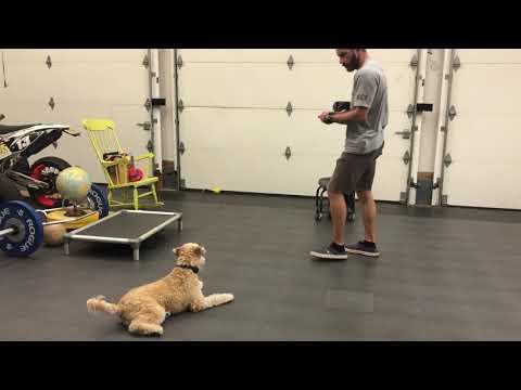 Wheaten terrier obedience basics.