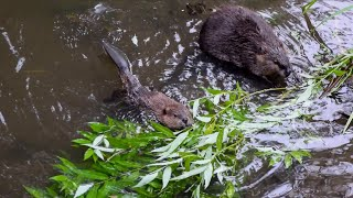 Life at a Beaver Dam in Gresham, Oregon