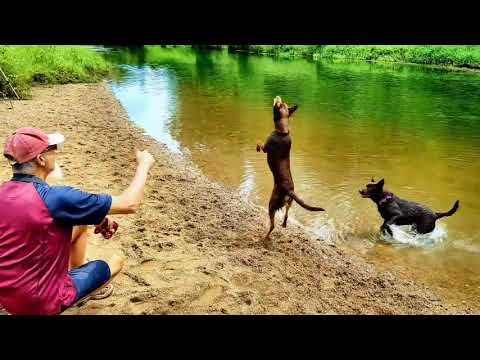 Colleges Crossing Kelpie Playdate, Queensland Australia