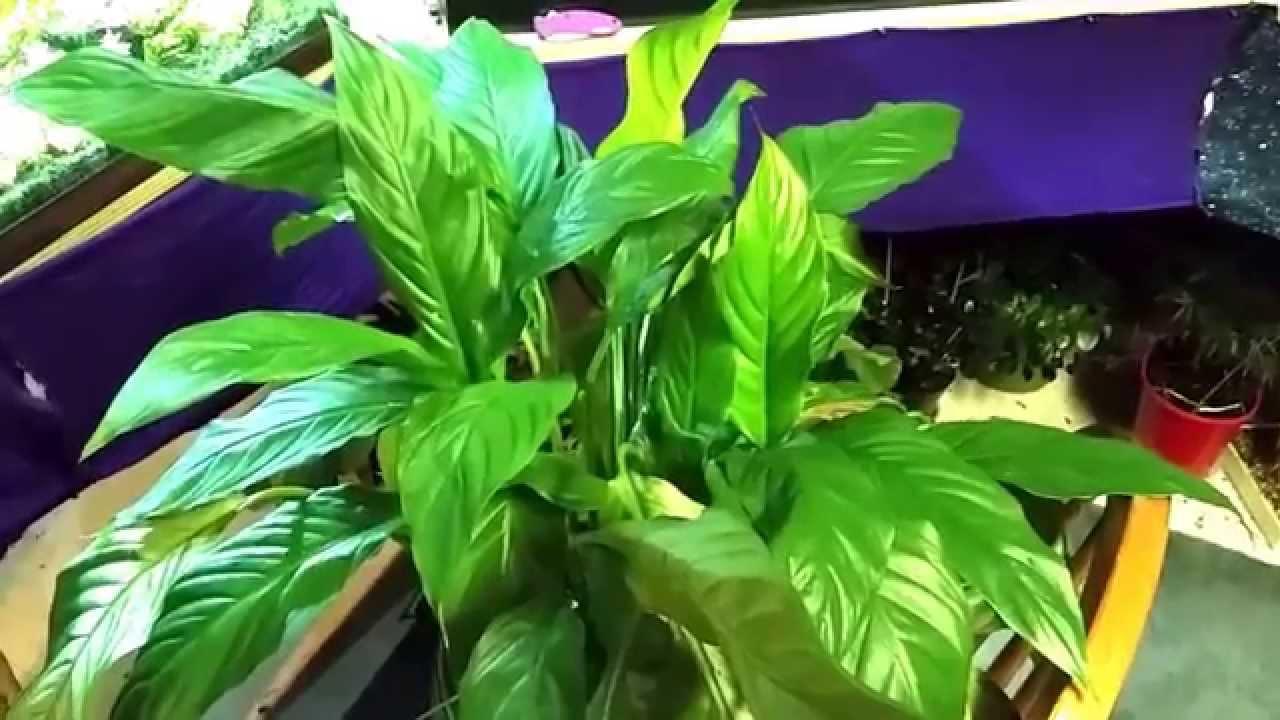 Brazillian sword or peace lily aquatic plant or houseplant youtube or peace lily aquatic plant or houseplant youtube izmirmasajfo Choice Image