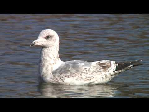 カモメ(1)冬鳥(各地) - Common