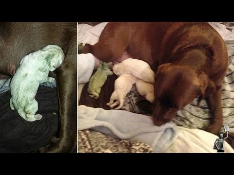 dog-owners-shocked-after-chocolate-labrador-gave-birth-a-green-puppy