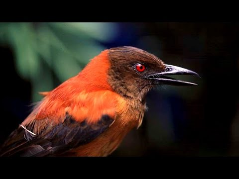 Asknature Nugget Ep 16 The Poisonous Hooded Pitohui Youtube