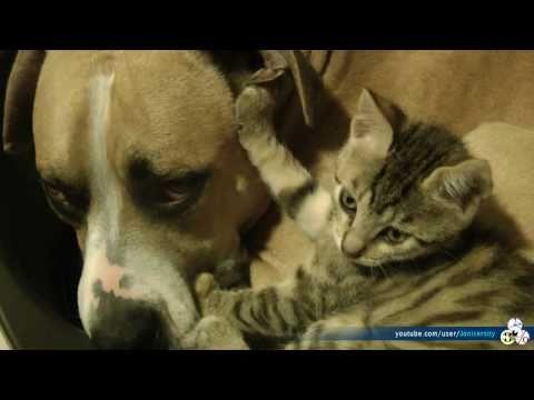 Pitbull VS Kitten (Real Love Real Fights)