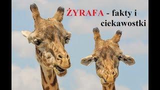 ŻYRAFA - najwyższe zwierze na świecie - fakty i ciekawostki.