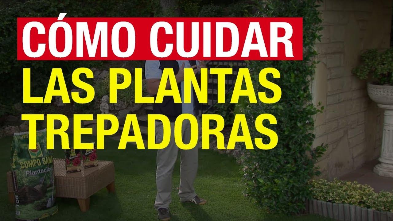 C mo cuidar las plantas trepadoras compo jardiner a for Plantas trepadoras para muros