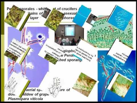 Lecture (10) :  Fungi like Organisms and True Fungi / Dr. Rana Samara