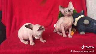 Sphynx Valencia gatos sin pelo